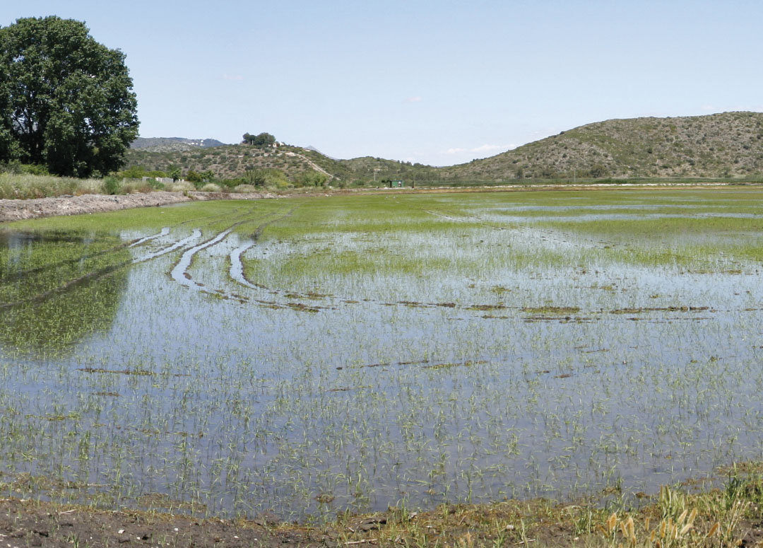 """Entre arrozales encontramos el """"Ullal de Bullens"""""""